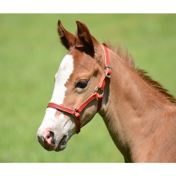 ***FLASH SALE*** Foal/MIni Size Halters made from USA Tanned Leather